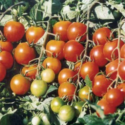 "Tomate ""ministar cherry"" (250g)"